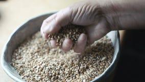 Feche acima das mãos velhas que derramam grões do trigo em 4K video estoque