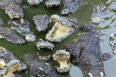 Feche acima das massas do crocodilo imagem de stock royalty free