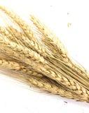 Feche acima das orelhas do ouro do grupo do trigo isoladas no fundo branco Imagem de Stock