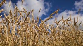 Feche acima das orelhas do trigo no campo filme