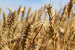Feche acima das orelhas maduras do trigo contra o céu azul no dia de verão imagem de stock royalty free