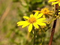 Feche acima das pétalas amarelas únicas do squalidus do Senecio do Ragwort fotos de stock royalty free