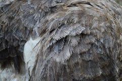 Feche acima das penas fêmeas da avestruz/plumagem Fotografia de Stock Royalty Free