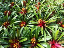Feche acima das plantas da bromeliácea no jardim Foto de Stock