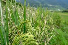 Feche acima das plantas de arroz no campo de almofada Imagem de Stock Royalty Free