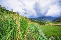 Feche acima das plantas de arroz no campo de almofada Foto de Stock Royalty Free
