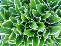 Feche acima das plantas verdes afiadas brancas do Hosta Foto de Stock