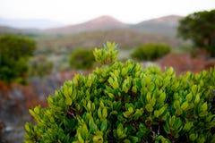 Feche acima das plantas verdes na ilha de Córsega, França, montanhas ajardinam o fundo Vista horizontal foto de stock royalty free