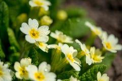 Feche acima das prímulas do yеllow que florescem no jardim adiantado da mola foto de stock royalty free