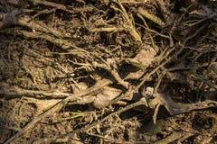 Feche acima das raizes resistidas velhas das árvores no assoalho da floresta Foto de Stock