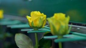 Feche acima das rosas amarelas na fábrica da flor video estoque