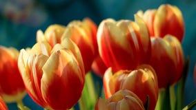 Feche acima das tulipas Foto de Stock
