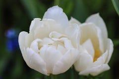 Feche acima das tulipas brancas fotografia de stock
