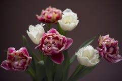 Feche acima das tulipas do rosa da mola Fotografia de Stock Royalty Free