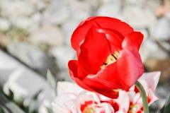 Feche acima das tulipas vermelhas de florescência bonitas no jardim na primavera Fundo colorido da mola Dia ensolarado Fotografia de Stock