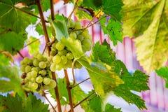 Feche acima das uvas brancas em uma videira fotos de stock royalty free