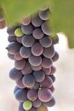 Feche acima das uvas de Syrah Fotos de Stock
