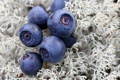 Feche acima das uvas-do-monte no líquene do Cladonia Fotografia de Stock Royalty Free