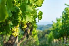 Feche acima das uvas em um vinhedo cultivado em uma região montanhosa na Croácia, Europa de Zagorje, durante um dia do verão ou d foto de stock royalty free