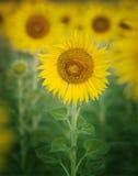 Feche acima de único da pétala bonita dos girassóis no frild das flores com uso do espaço da cópia como o fundo da planta da natu fotografia de stock