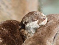 Feche acima de afagar lontras agarradas curtos orientais sonolentos Imagem de Stock Royalty Free
