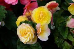 Feche acima de amarelo bonito e a criança cor-de-rosa de Julia aumentou no jardim fotos de stock royalty free