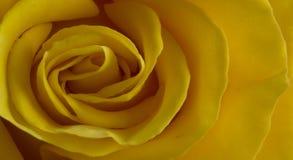 Feche acima de aumentou com pétalas amarelas Fotografia de Stock