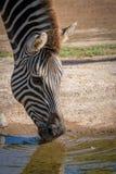 Feche acima de beber da zebra Imagem de Stock Royalty Free