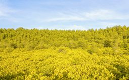 Feche acima de Ceriops Tagal com fundo dourado de Ceriops Tagal na floresta dos manguezais encontrada fotos de stock