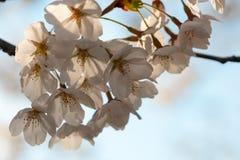 Feche acima de Cherry Blossoms backlit pela luz do sol Imagens de Stock Royalty Free