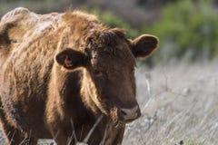 Feche acima de Dexter Cow vermelho, considerado uma raça rara, estando e mastigando a grama imagens de stock