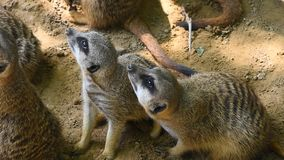 Feche acima de dois meerkats que olham alertados acima vídeos de arquivo