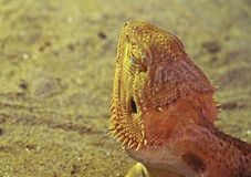 Feche acima de Dragon Take que farpado um Sunbath se isolou na natureza Backgr foto de stock