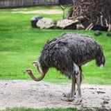 Feche acima de duas avestruzes Foto de Stock
