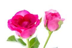 Feche acima de duas rosas vermelhas Imagens de Stock Royalty Free