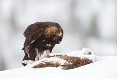 Feche acima de Eagle dourado na neve de queda fotos de stock