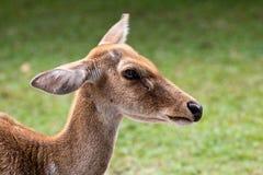 Feche acima de Eld& x27; os cervos de s dirigem o tiro Fotos de Stock