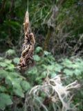 Feche acima de Ermine Moth Larvae que oscila de uma Web em uma Berlim P foto de stock royalty free
