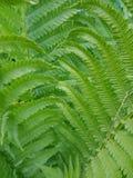 Feche acima de Fern Fronds Growing verde nas madeiras Fotografia de Stock Royalty Free