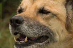 Feche acima de Front View do cão superior Fotos de Stock Royalty Free