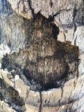 Feche acima de Gray Bark da palmeira do coco Imagens de Stock Royalty Free
