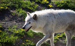 Feche acima de Gray Wolf Fotografia de Stock Royalty Free