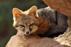 Feche acima de Grey Fox Curled Up para a sesta da tarde imagens de stock royalty free