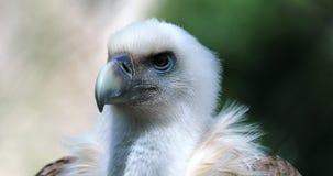 Feche acima de Griffon Vulture Head filme
