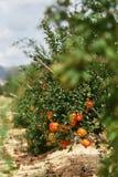 Feche acima de maduro e pronto para escolher a toranja que pendura no arbusto fotografia de stock