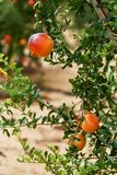 Feche acima de maduro e pronto para escolher a toranja que pendura no arbusto fotografia de stock royalty free