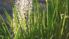 Feche acima de molhar cebolas verdes no jardim, movimento lento A água deixa cair a queda na planta nos raios do por do sol video estoque