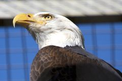 Americano Eagle Foto de Stock Royalty Free