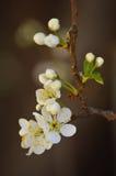 Feche acima de Plum Blossoms branca no ramo Imagens de Stock Royalty Free