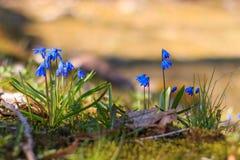 Feche acima de poucos snowdrops azuis Fotos de Stock Royalty Free